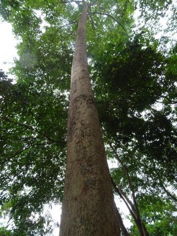 Triplochiton Scleroxylon Indigenous Knowledge On Forest